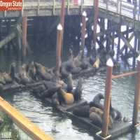 Sea Lions Newport Oregon Webcam - Newport, OR